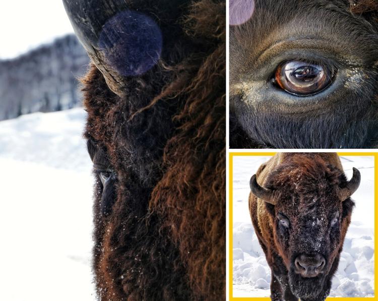Parc-Omega-Bison-Buffalo