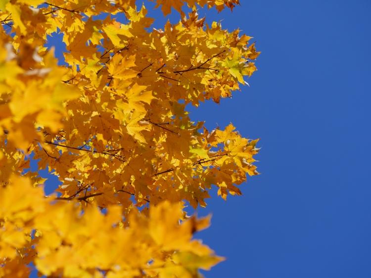 Feuilles jaunes et ciel bleu