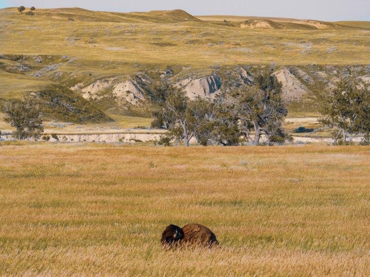 Badlands-National-Park-bison-whereiscoralie