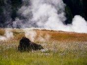 Bison au Yellowstone