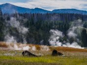 Bisons au Yellowstone