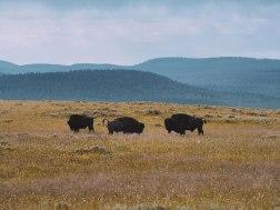 Randonnée au milieu des bisons